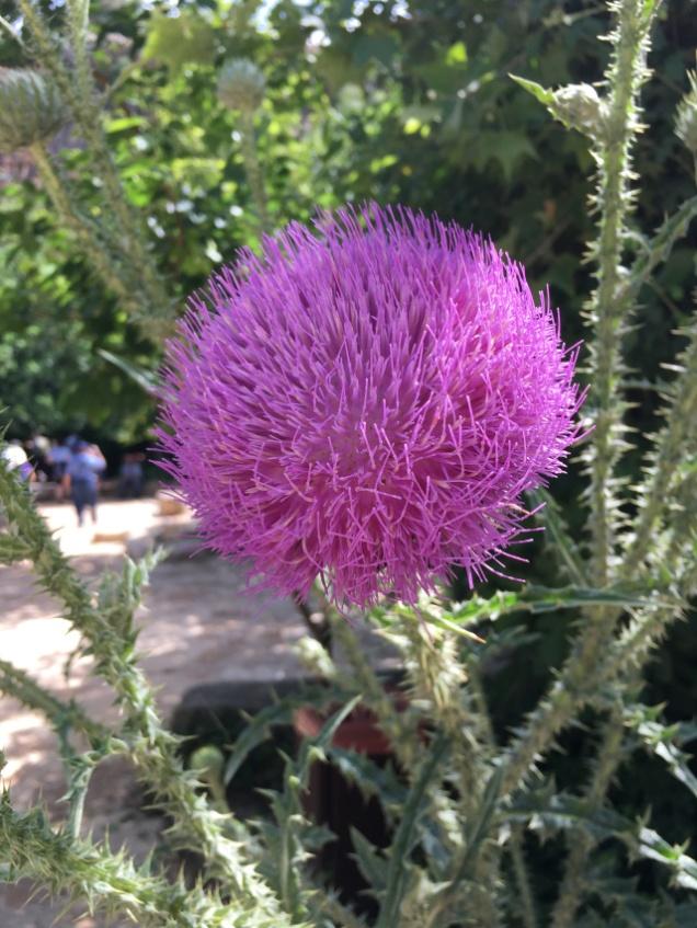 Flower from Caesarea Philippi.