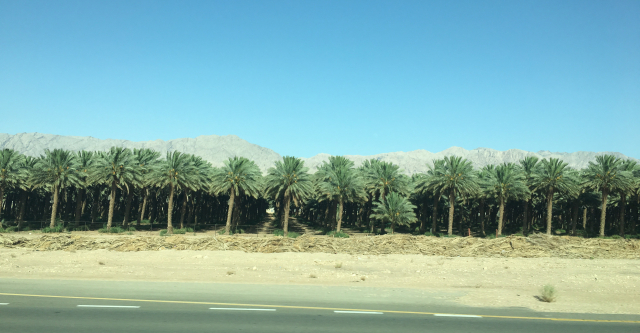 Palm trees in the desert