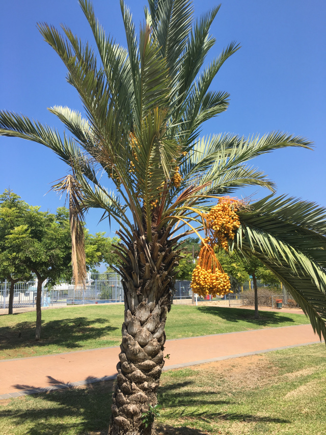 Date Palm - Rivkas Walk Friday