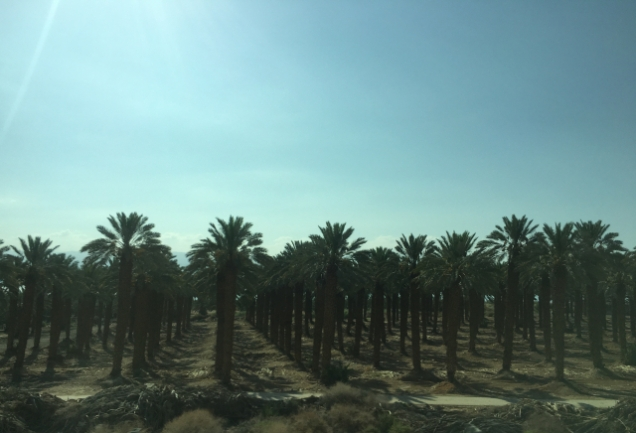 Date palms in the Negev in Israel