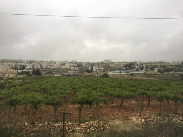 Vineyards in Judea and Samaria