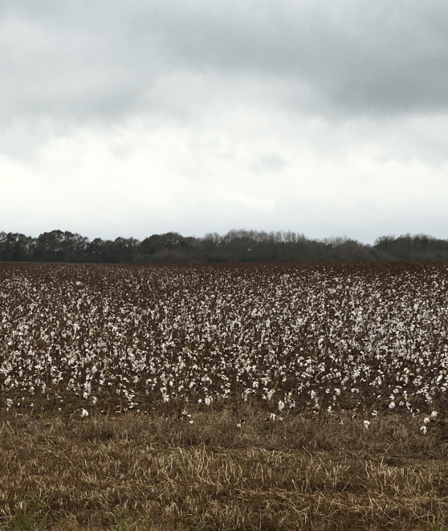 Cotton in the Panhandle of Florida.