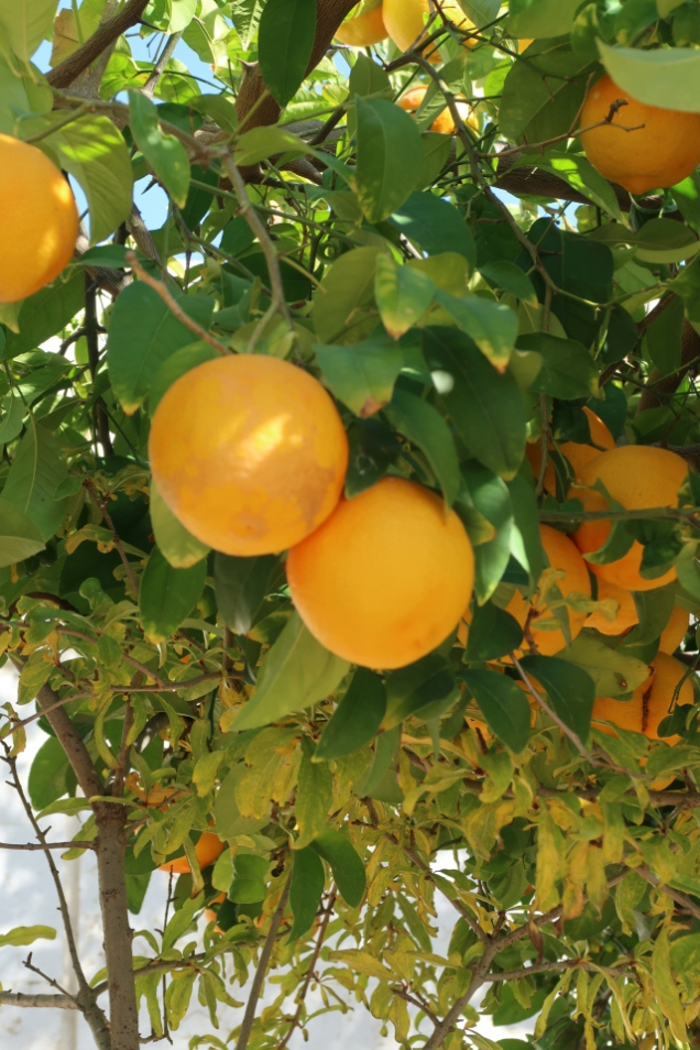 ashdod orange tree