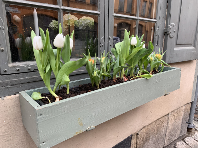 beautiful tulips in cold weather