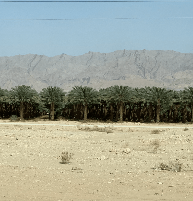 Date Palms in Eilat